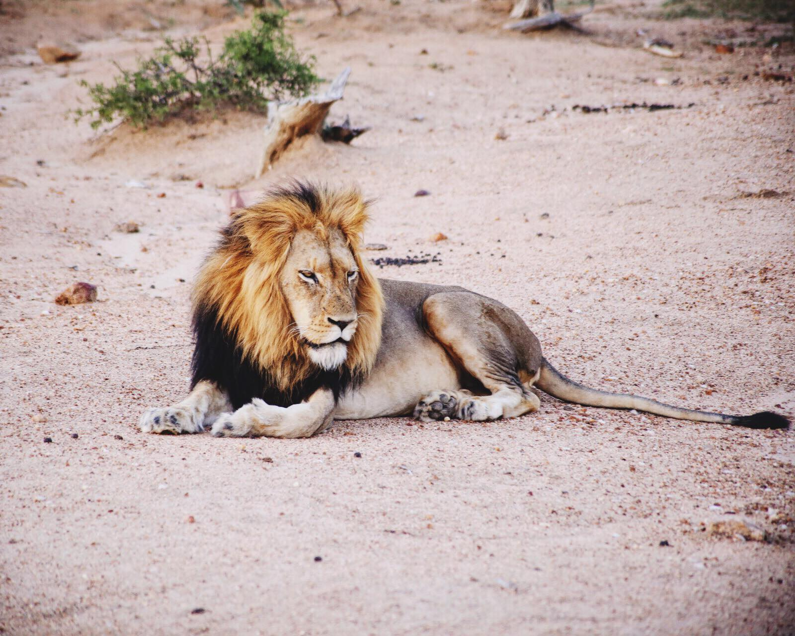 Seeing The Big 5 On Safari In Kruger National Park, South Africa - African Elephants, Black/White Rhinoceros, Lions, Leopards and Buffalos (1)