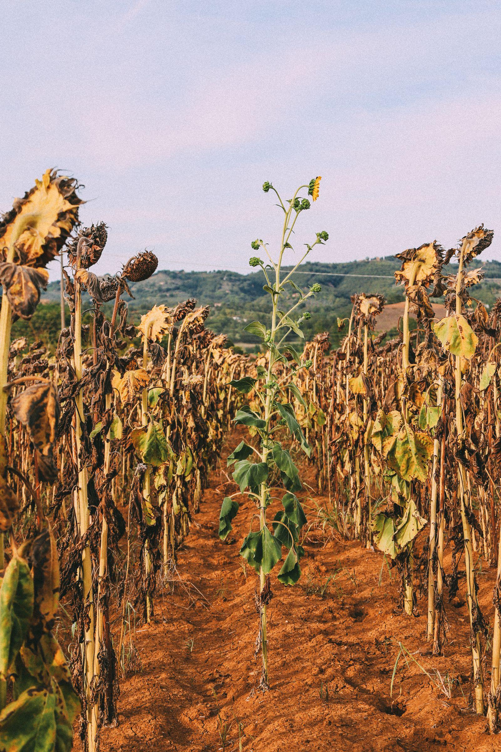 Sunflower Fields... (8)