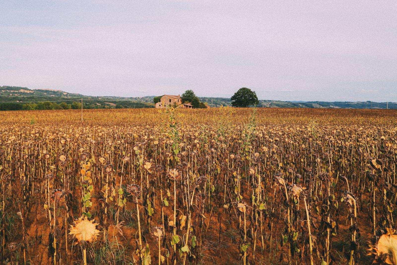Sunflower Fields... (9)
