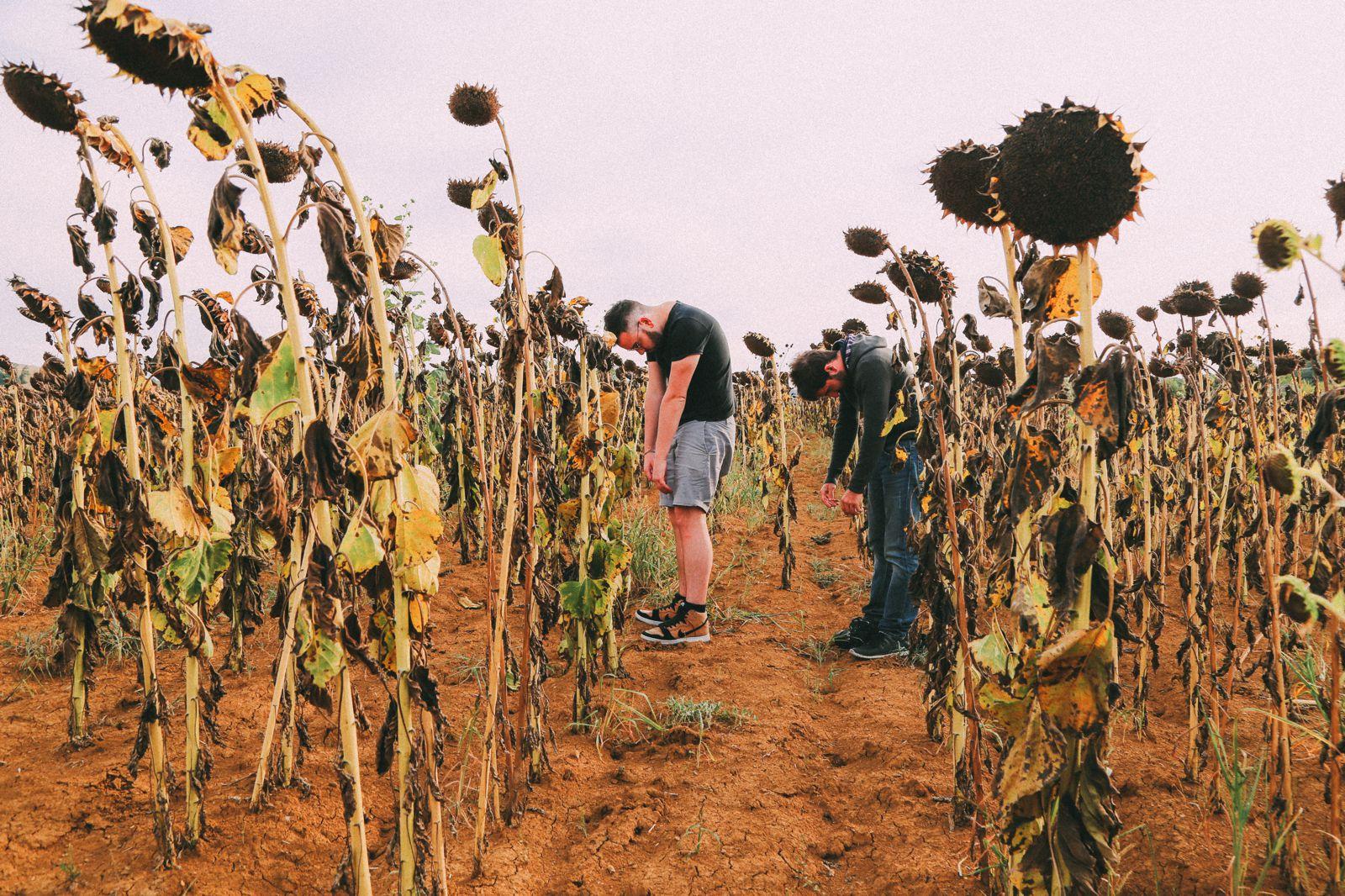 Sunflower Fields... (12)
