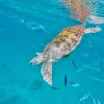 Swimming With Turtles in The Pristine Caribbean Sea – Hello From Barbados!
