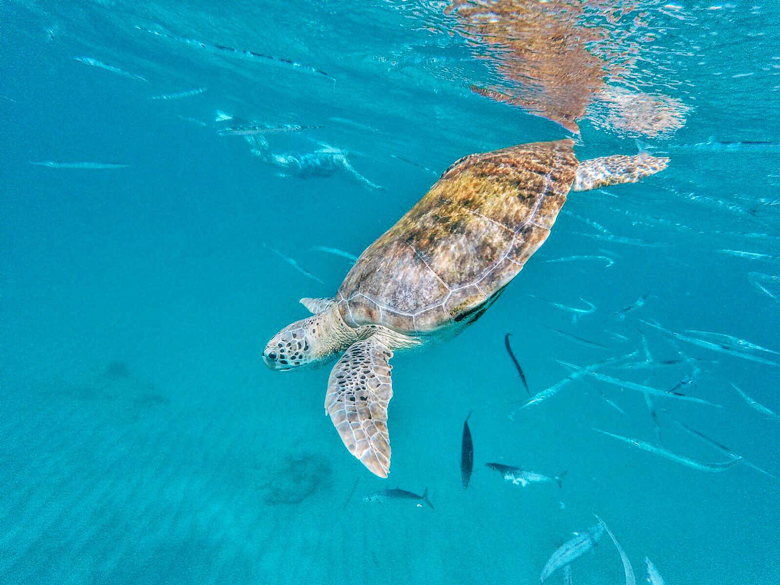 Swimming With Turtles in The Pristine Caribbean Sea - Hello From Barbados! (7)