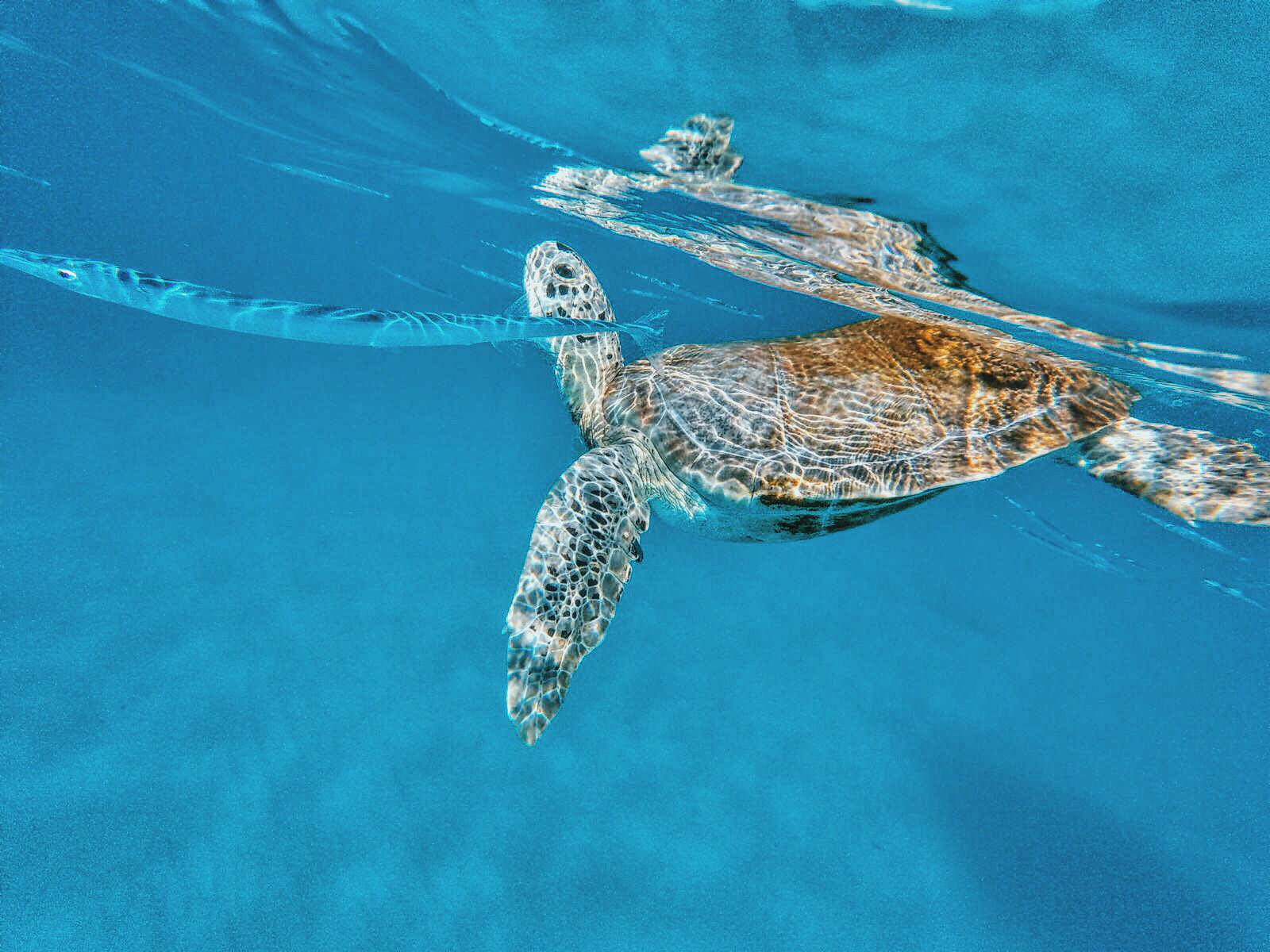Swimming With Turtles in The Pristine Caribbean Sea - Hello From Barbados! (4)