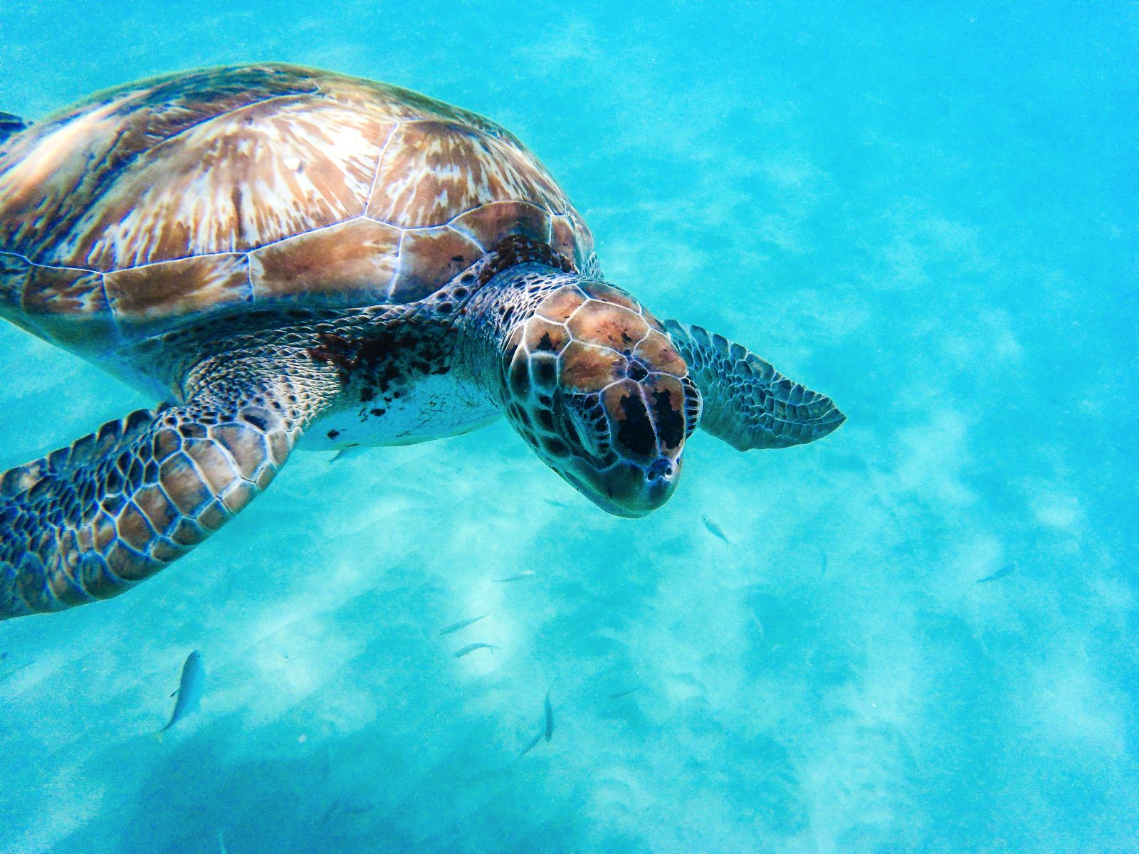 Sailing In Barbados - Swimming With Turtles and Puffer Fish (1)