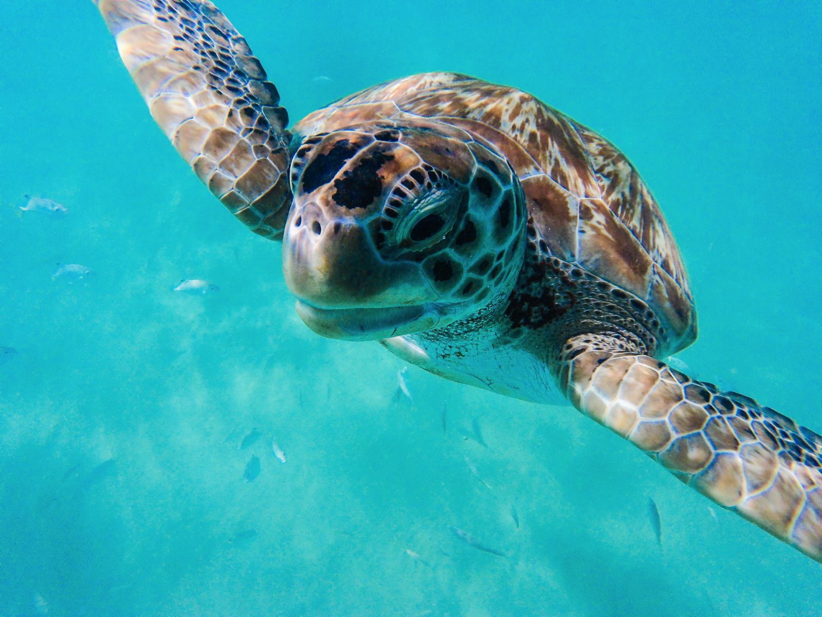 Sailing In Barbados - Swimming With Turtles and Puffer Fish (3)