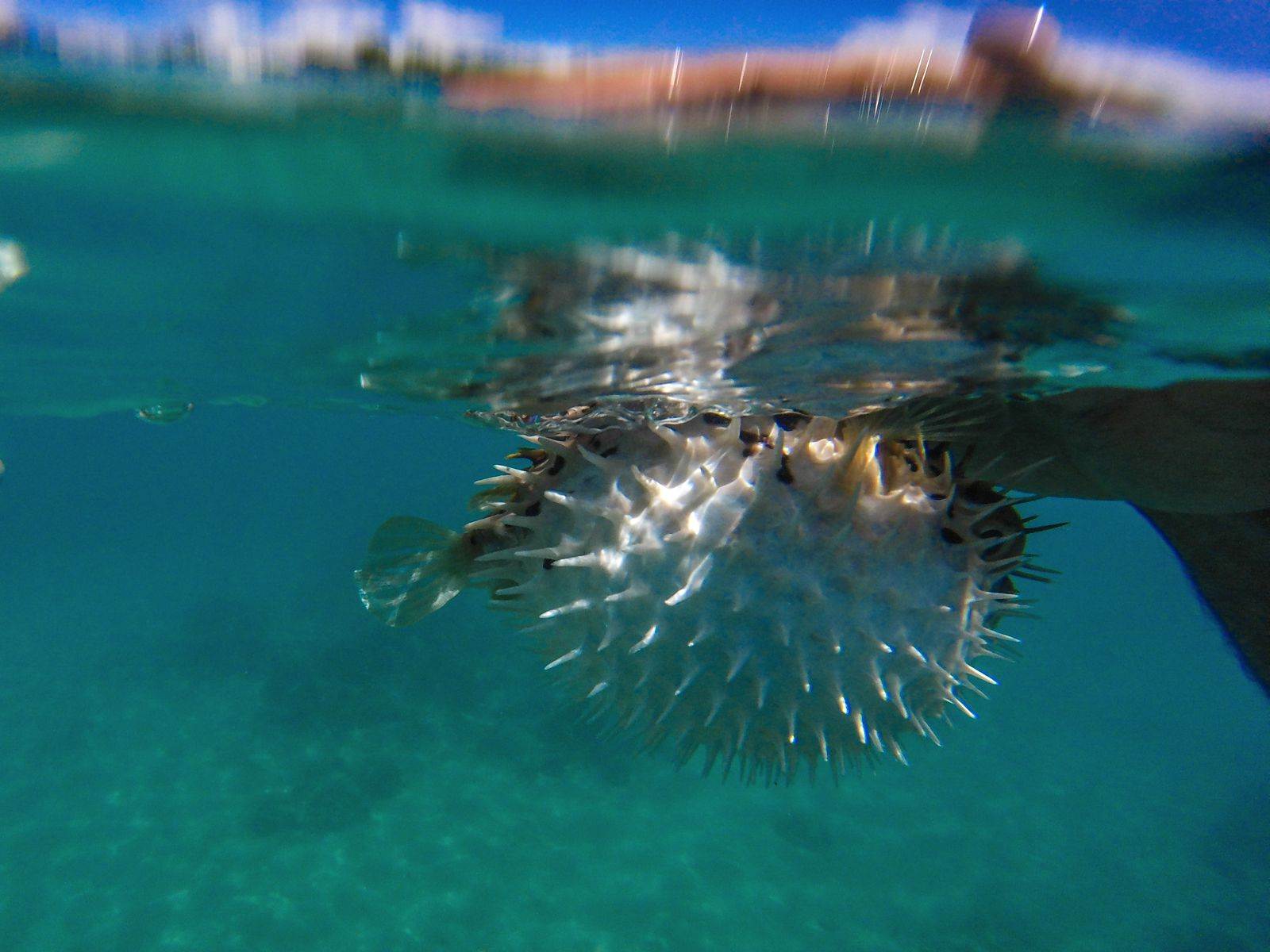 Sailing In Barbados - Swimming With Turtles and Puffer Fish (31)