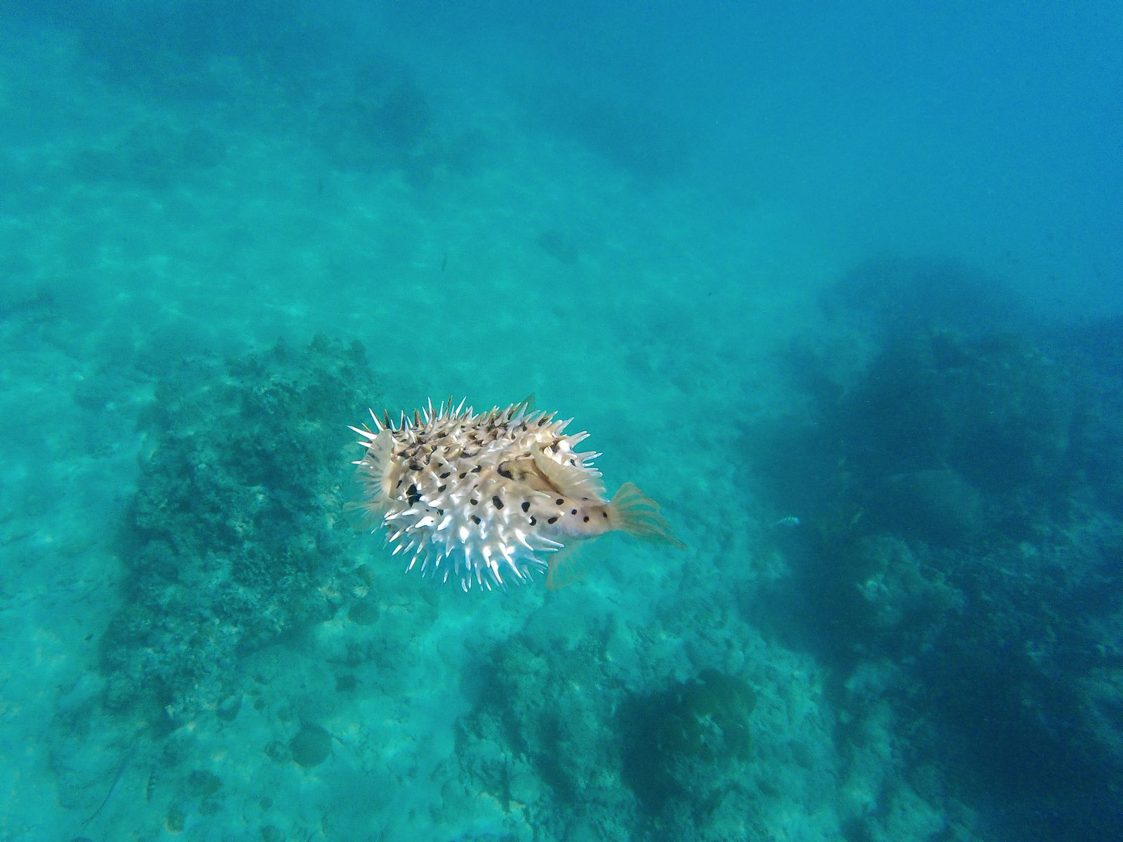 Sailing In Barbados - Swimming With Turtles and Puffer Fish (34)