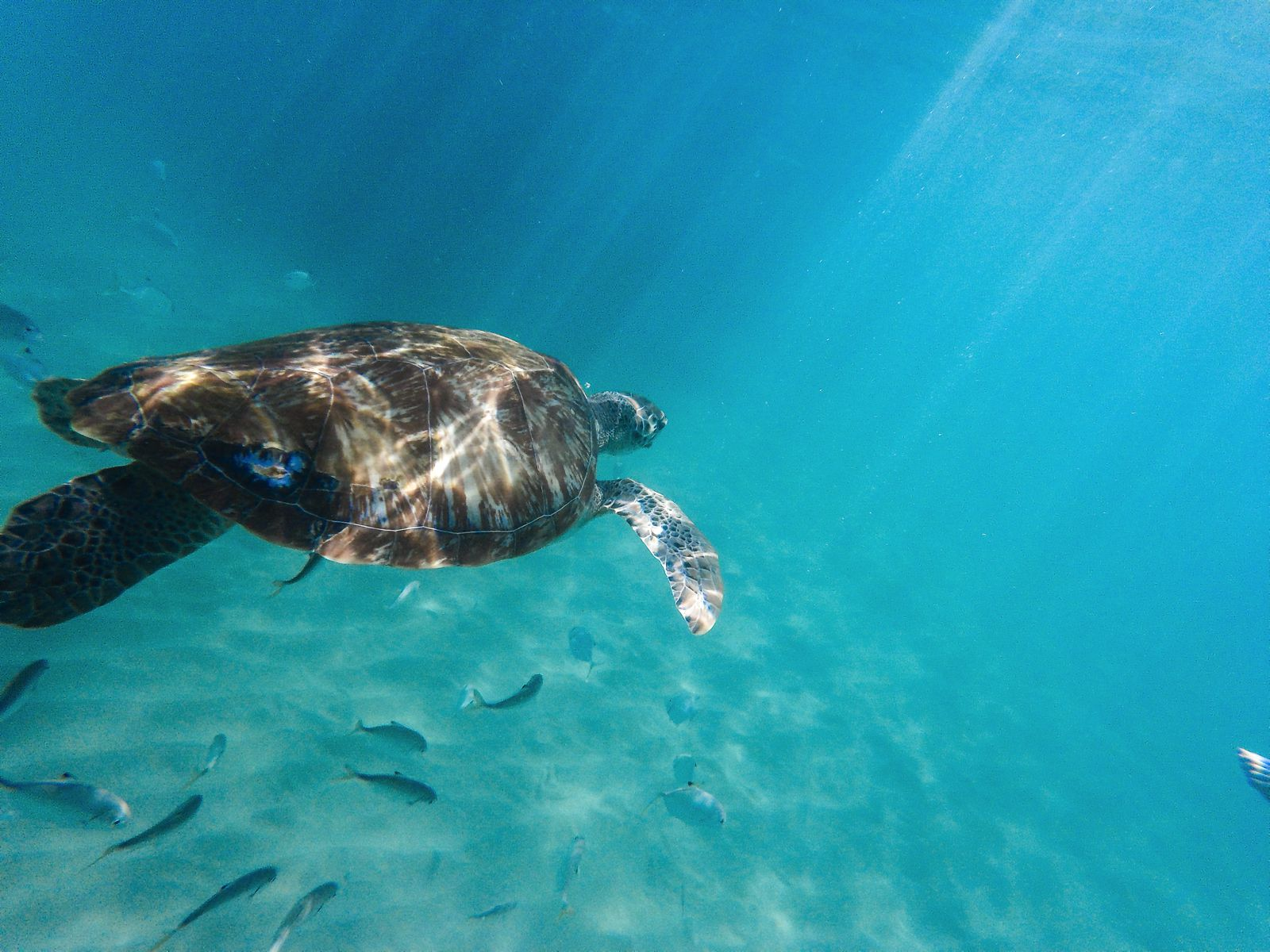 Sailing In Barbados - Swimming With Turtles and Puffer Fish (37)