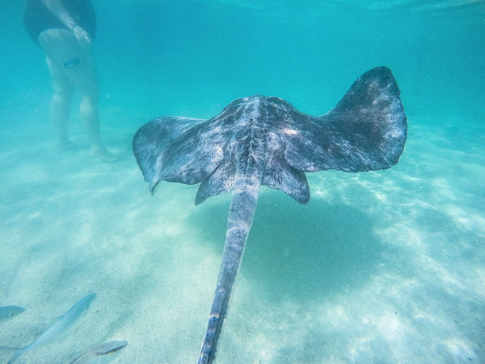 How To Swim With Wild Stingrays In Antigua (40)