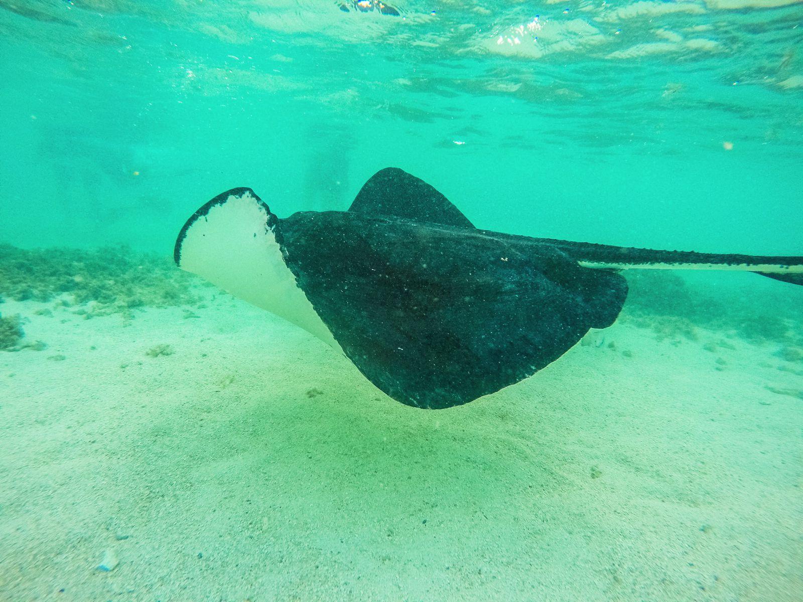 How To Swim With Wild Stingrays In Antigua (31)