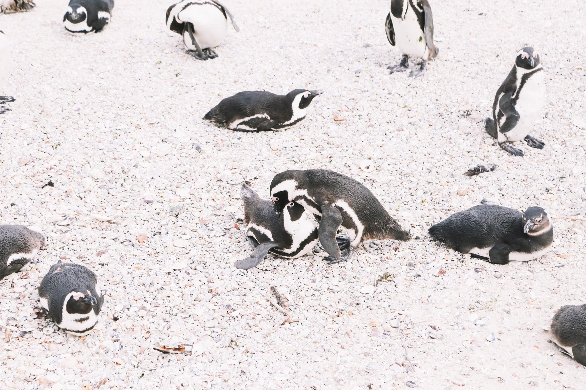 How To Visit Penguin Beach In South Africa (16)