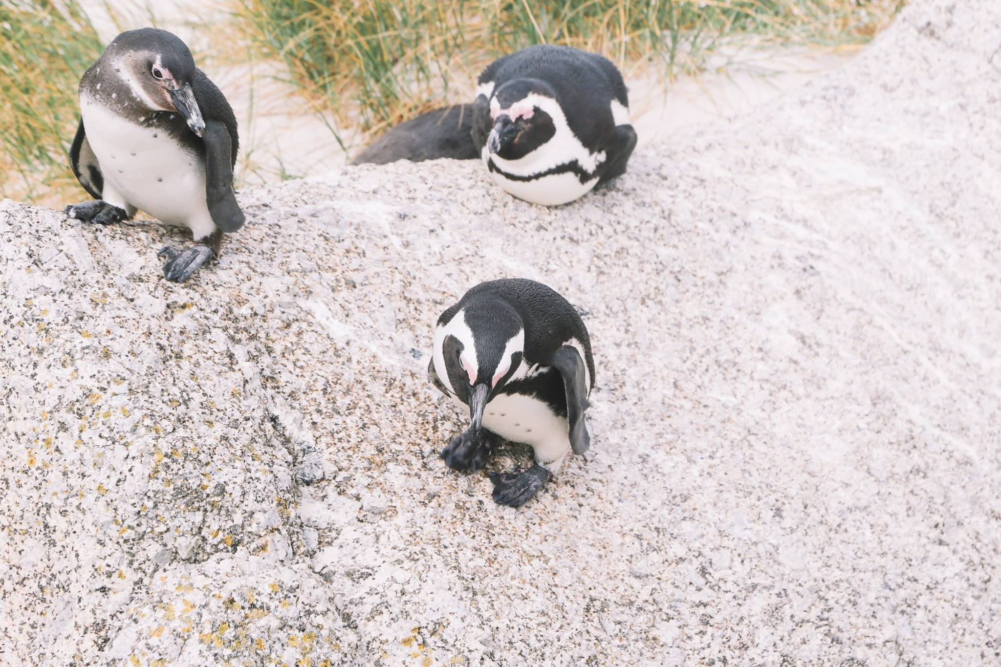How To Visit Penguin Beach In South Africa (5)