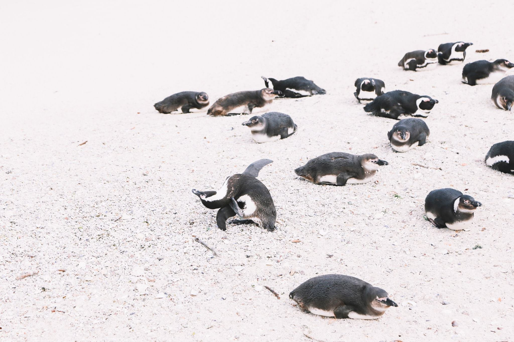 How To Visit Penguin Beach In South Africa (17)