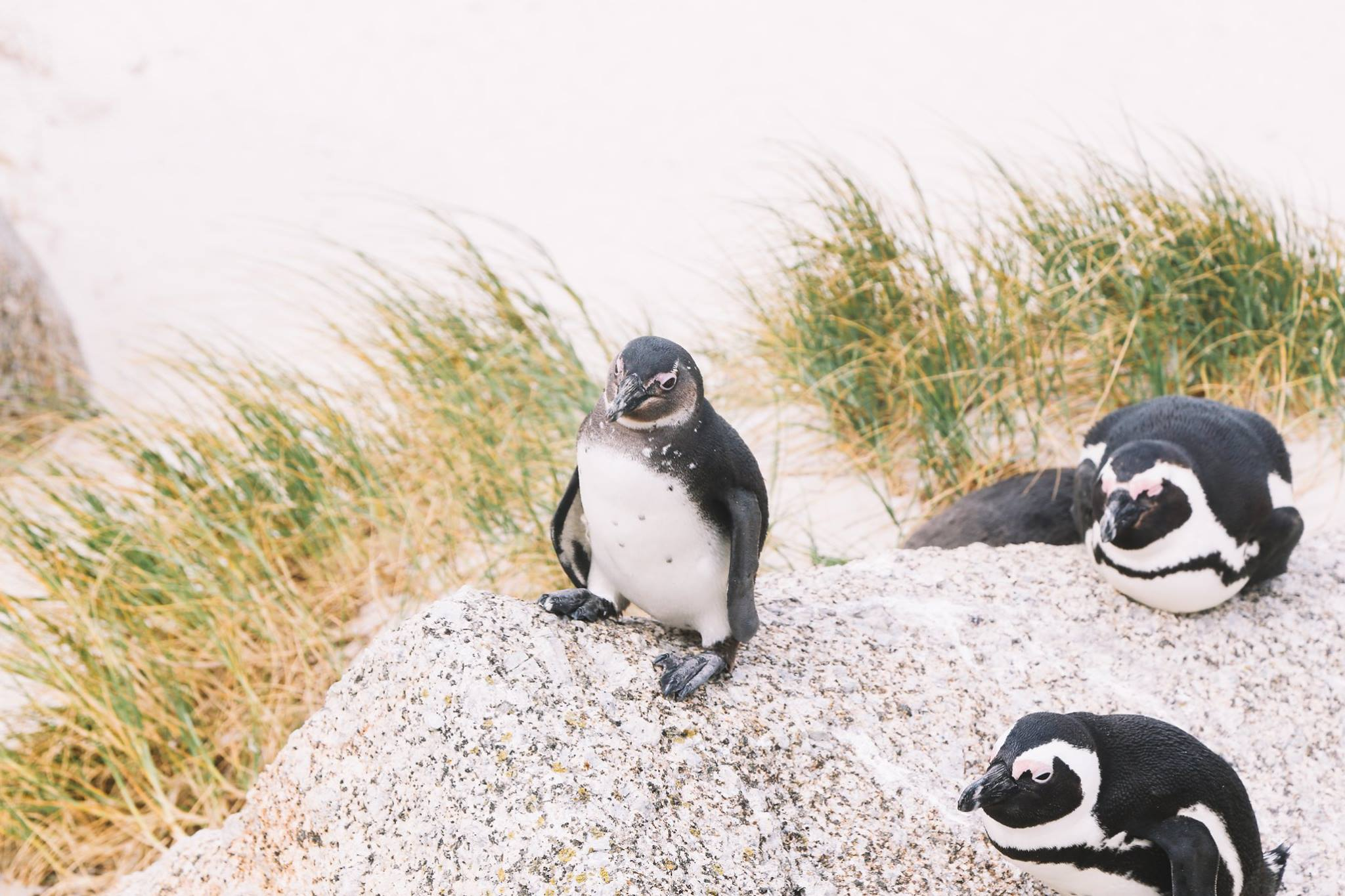 How To Visit Penguin Beach In South Africa (25)