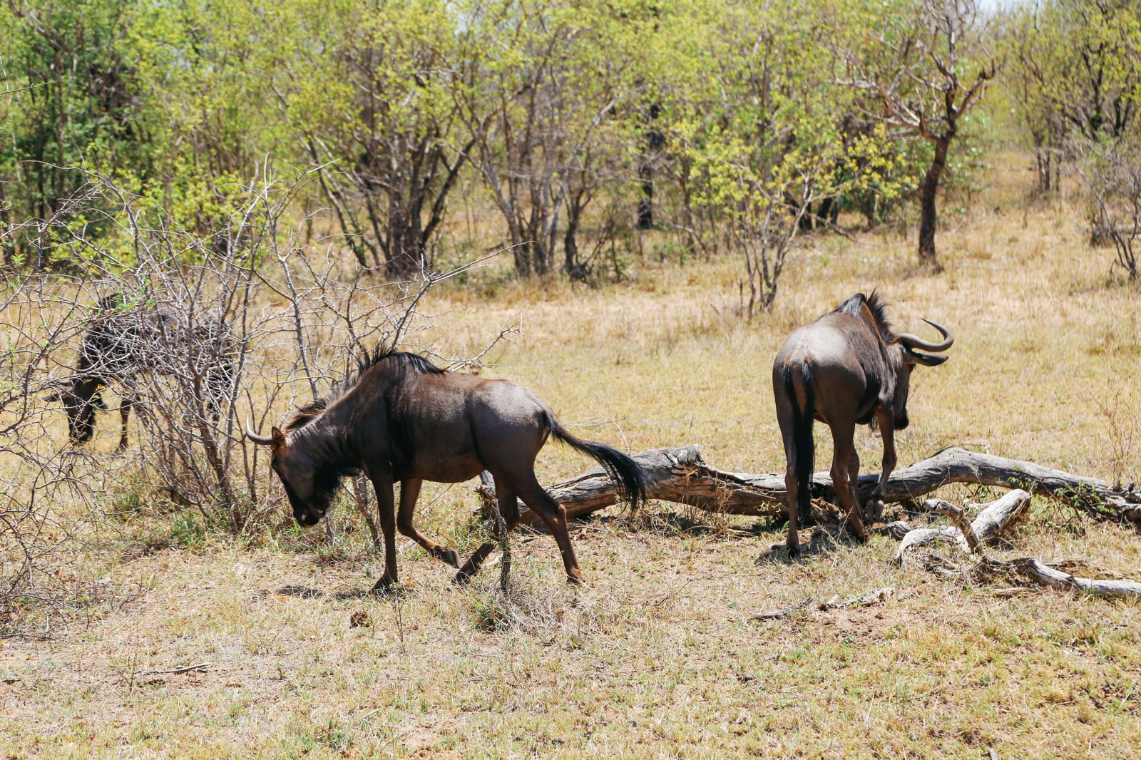 Arriving On Safari In South Africa... (Definitely Not Your Average Airport Transfer!) (15)