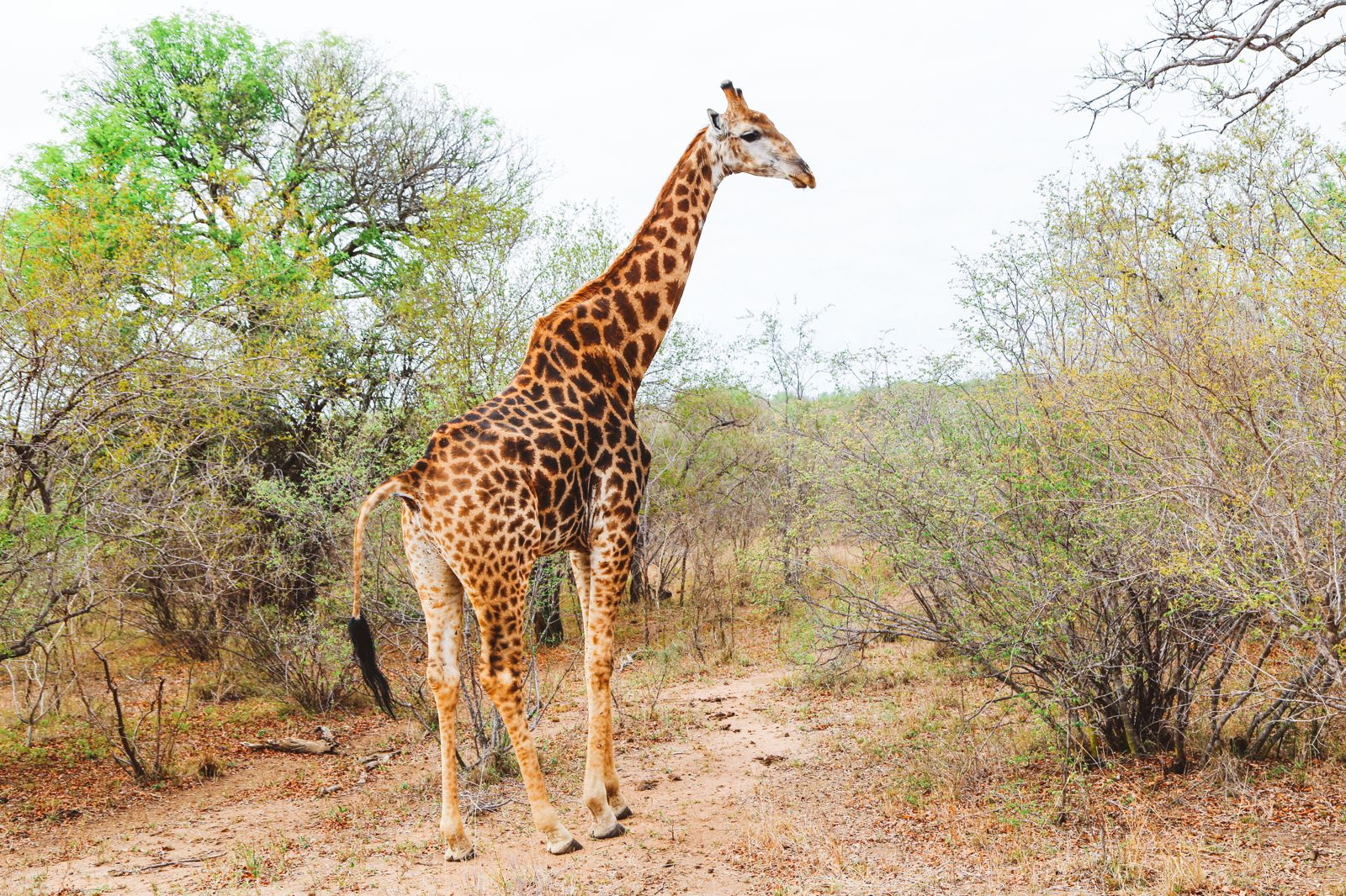 Midnight Lions, Skittish Giraffes And The Deadliest Of The Safari Big 5 In South Africa (15)