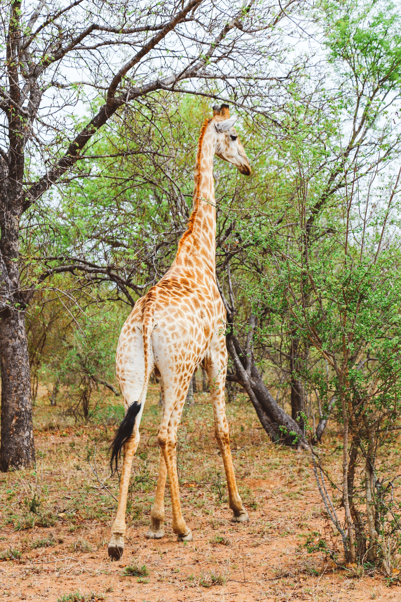 Midnight Lions, Skittish Giraffes And The Deadliest Of The Safari Big 5 In South Africa (20)