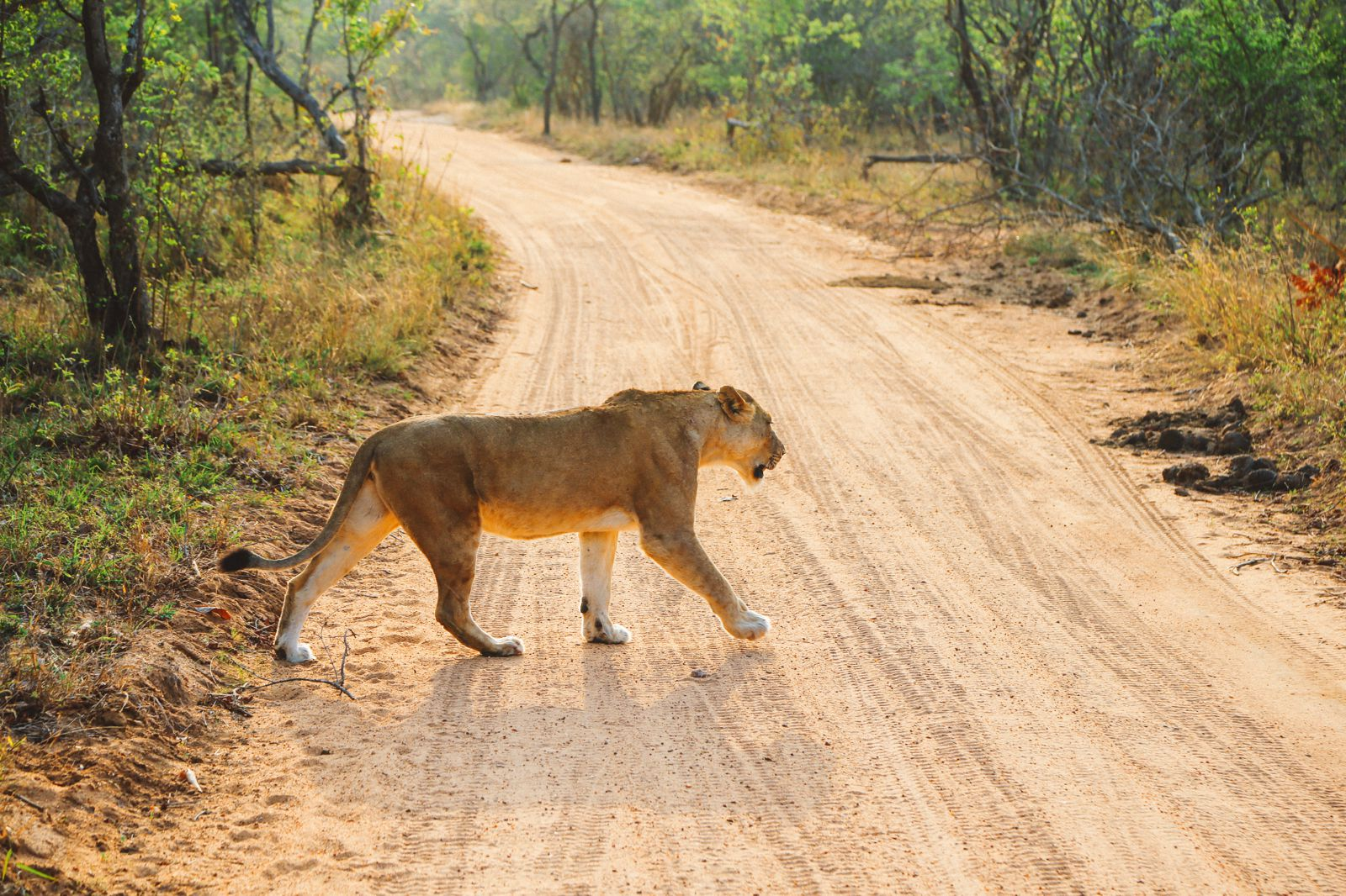 What's It Like To Be Stuck In A Pride Of Lions On Safari In South Africa? (17)