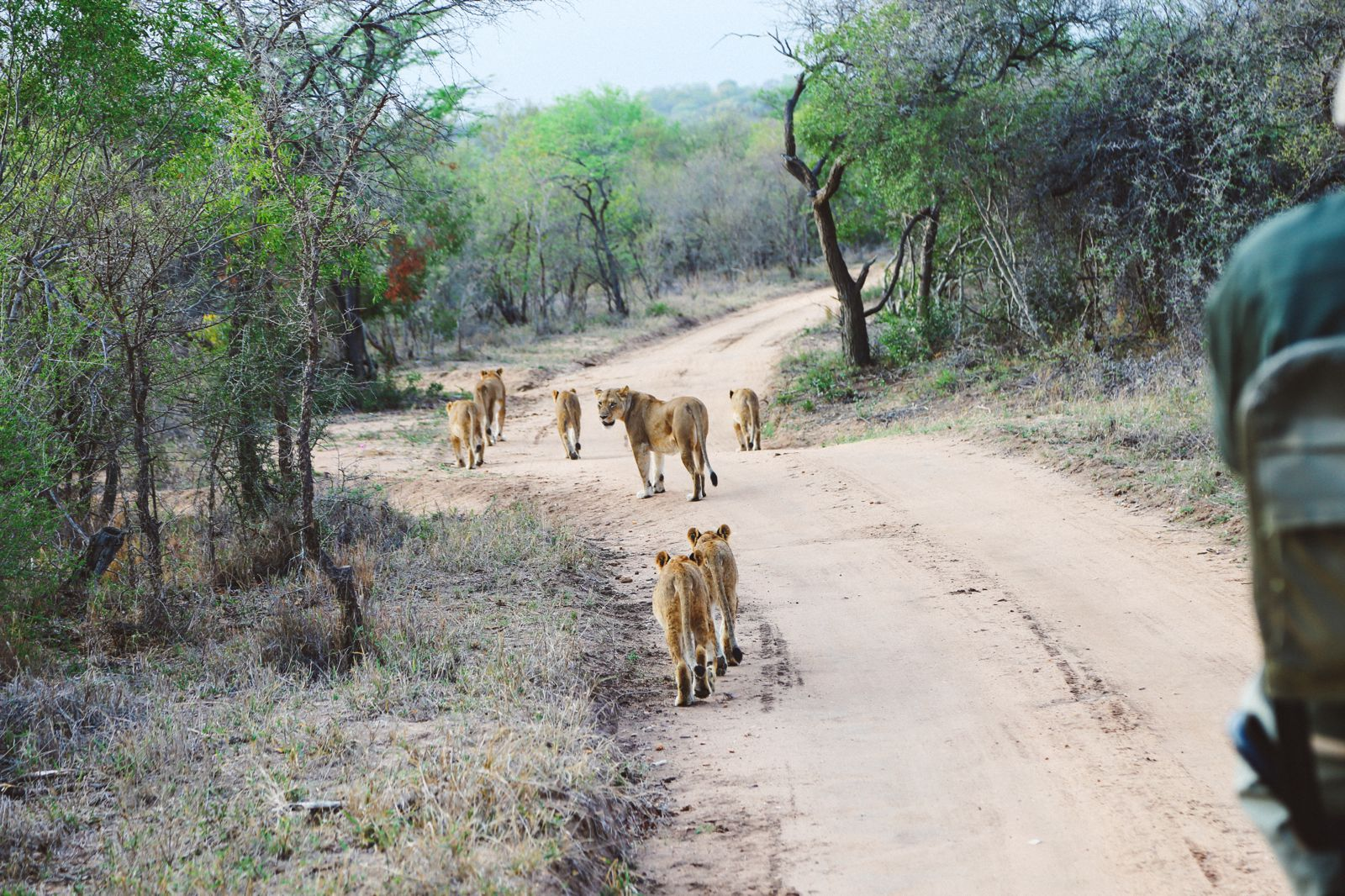 What's It Like To Be Stuck In A Pride Of Lions On Safari In South Africa? (20)