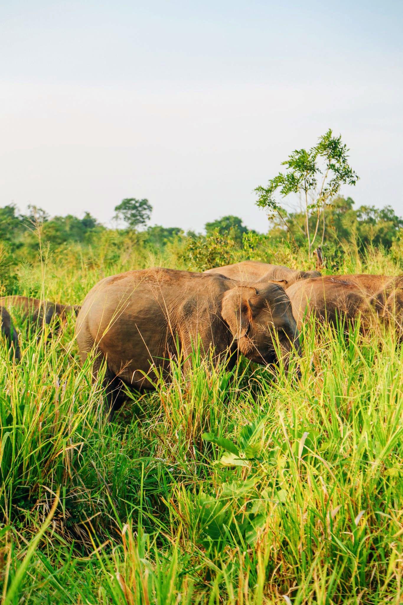 Safari in Mineriya National Park Sri Lanka Elephants (16)