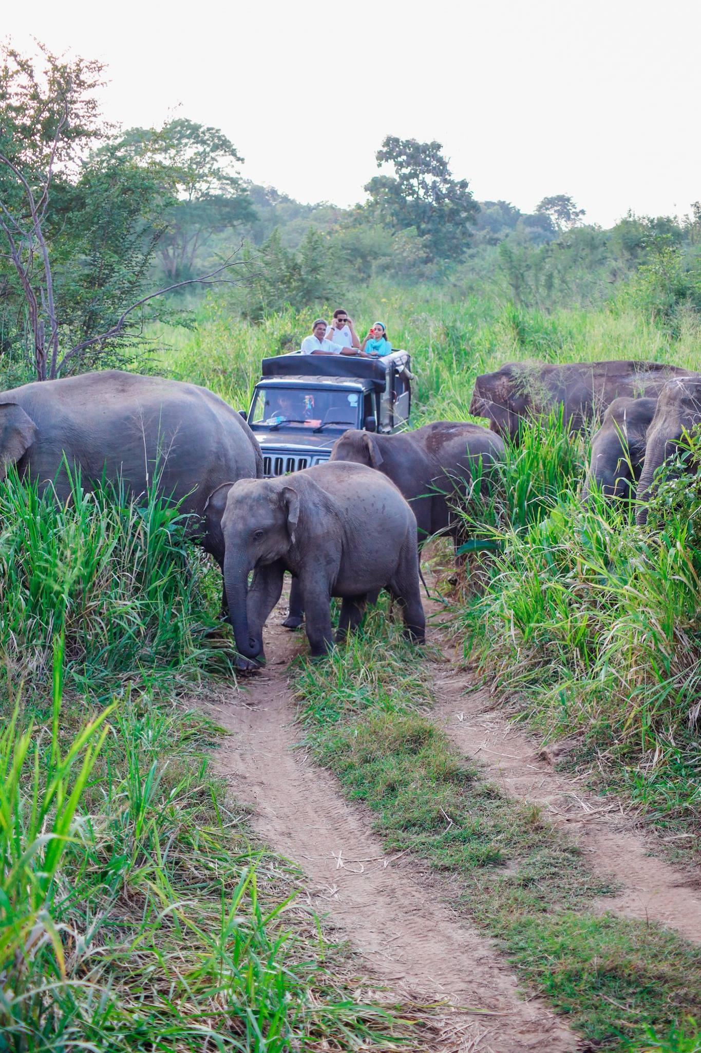 Safari in Mineriya National Park Sri Lanka Elephants (25)