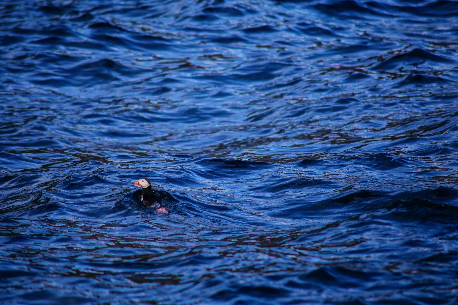 Where To Find Puffins In Norway! (26)