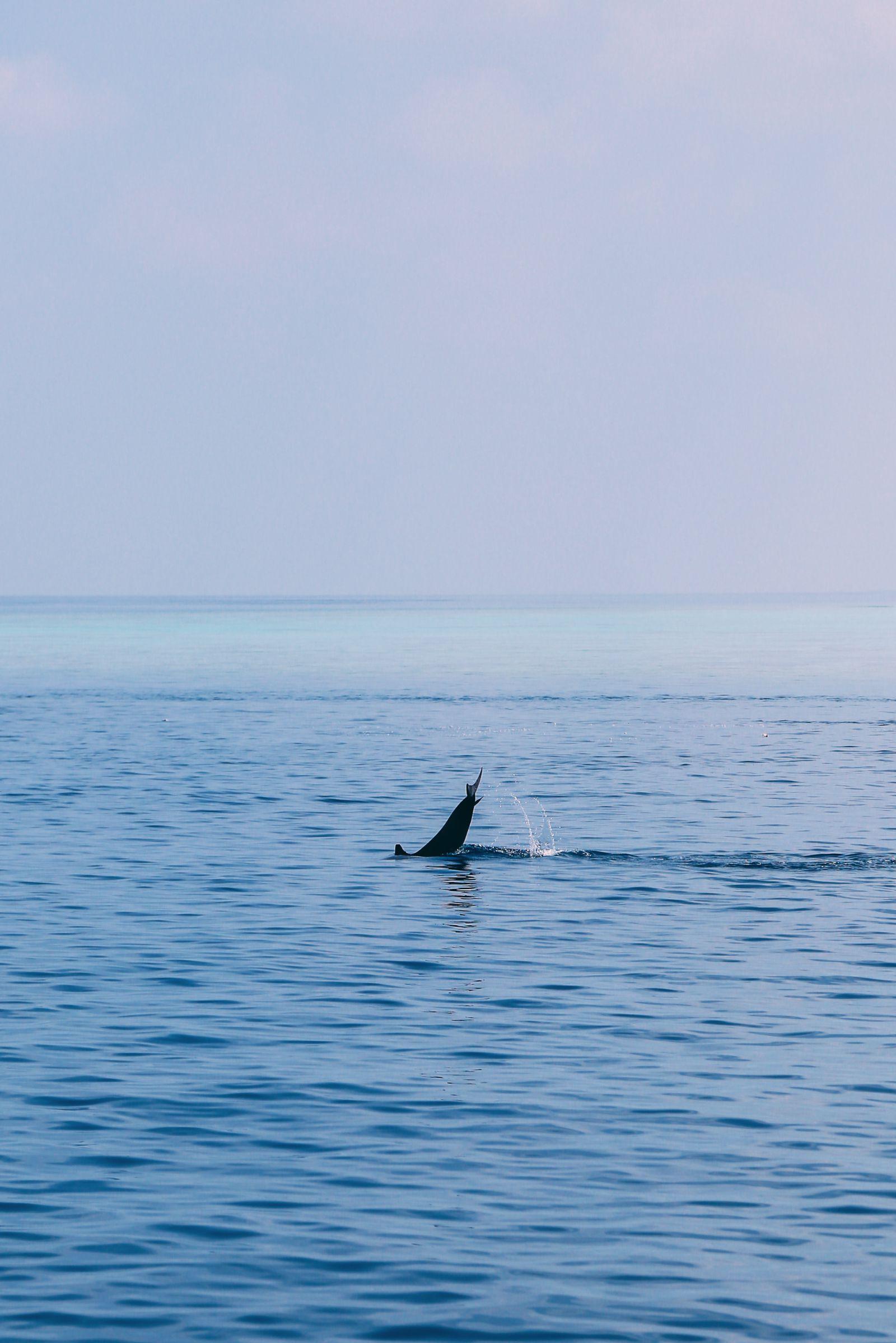 Maafushivaru, Birthing Dolphins And Swimming With Manta Rays... In The Maldives (37)