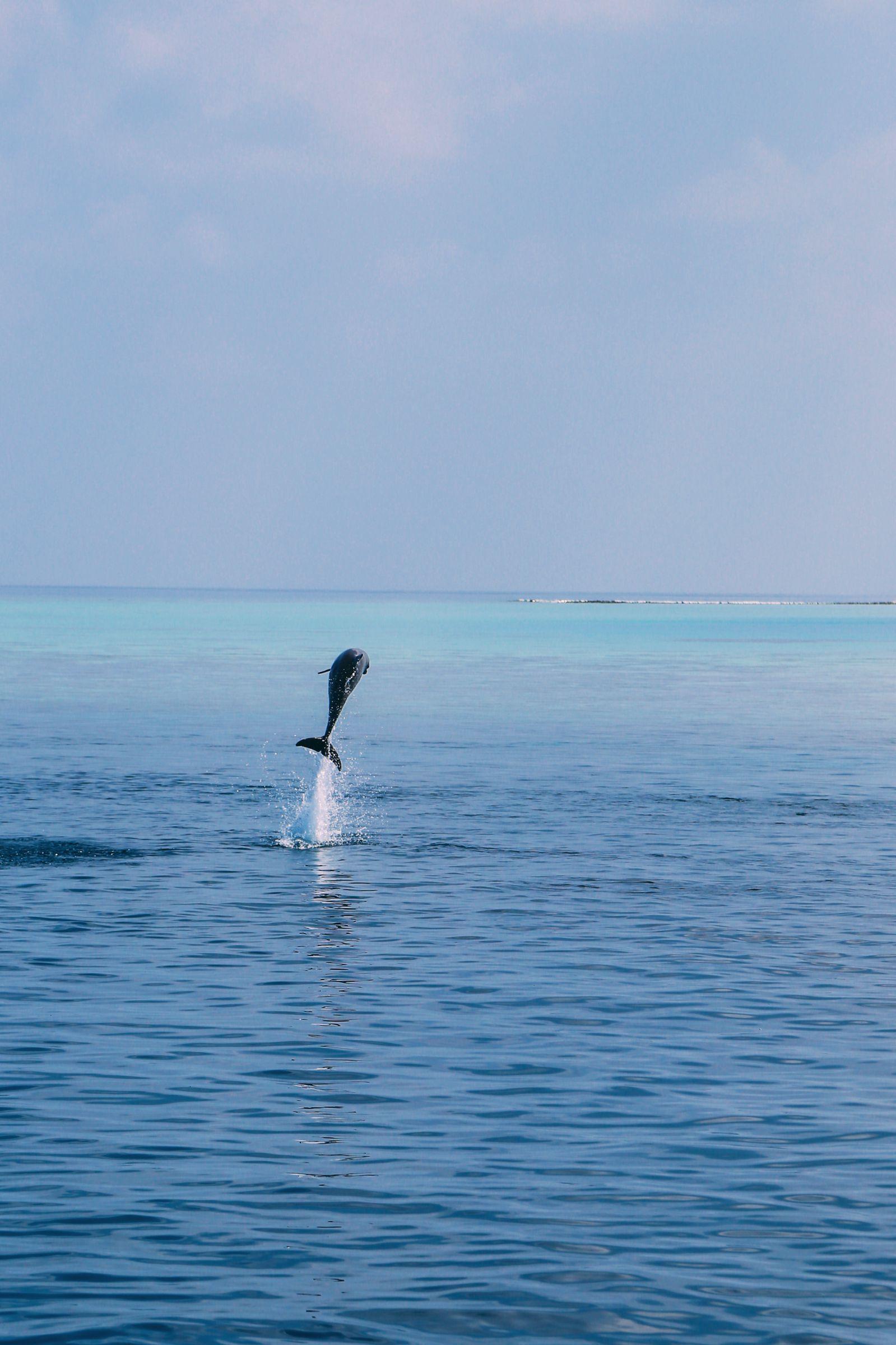 Maafushivaru, Birthing Dolphins And Swimming With Manta Rays... In The Maldives (42)