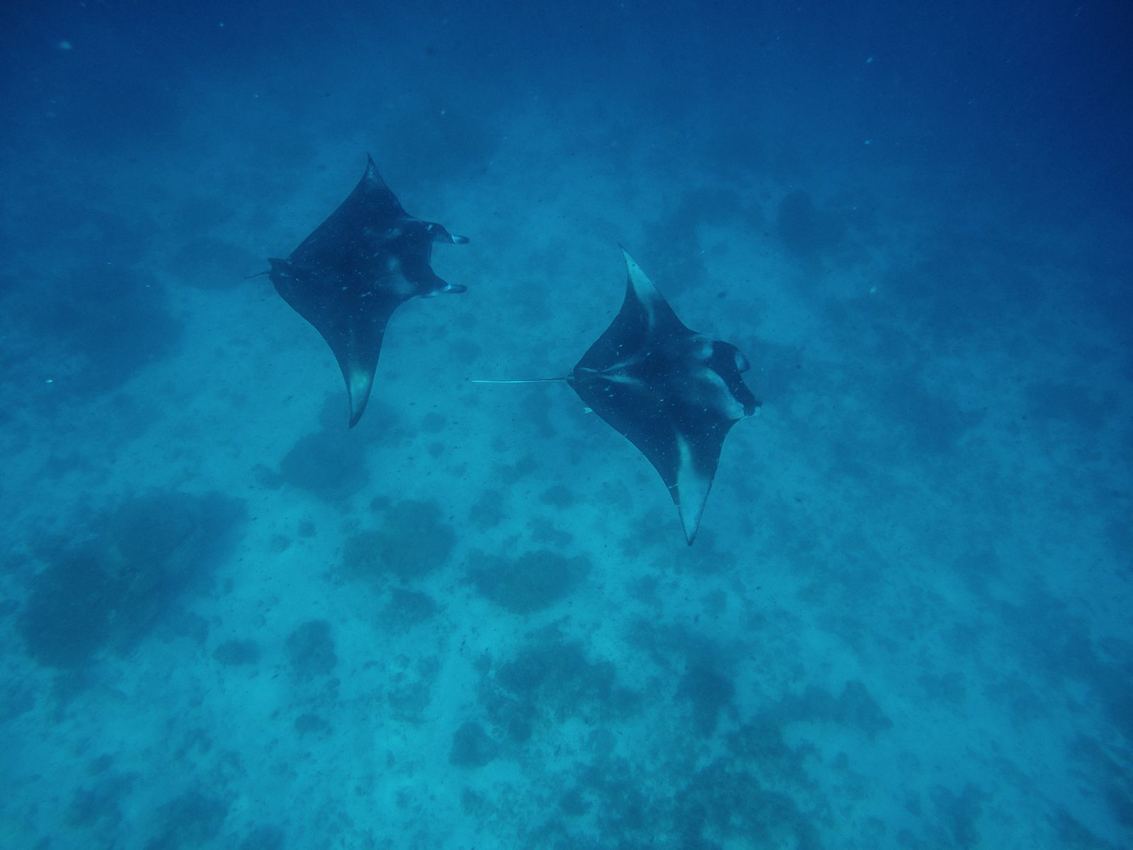 Maafushivaru, Birthing Dolphins And Swimming With Manta Rays... In The Maldives (51)