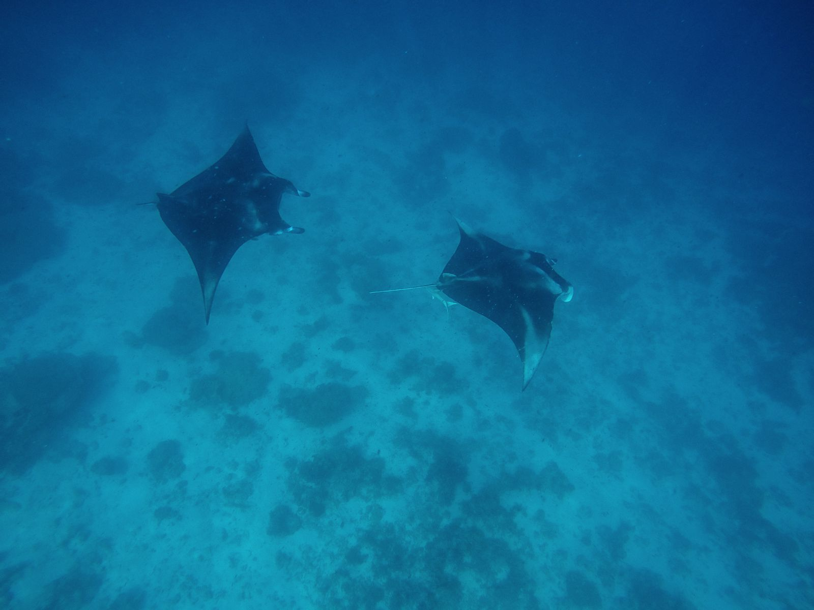Maafushivaru, Birthing Dolphins And Swimming With Manta Rays... In The Maldives (52)