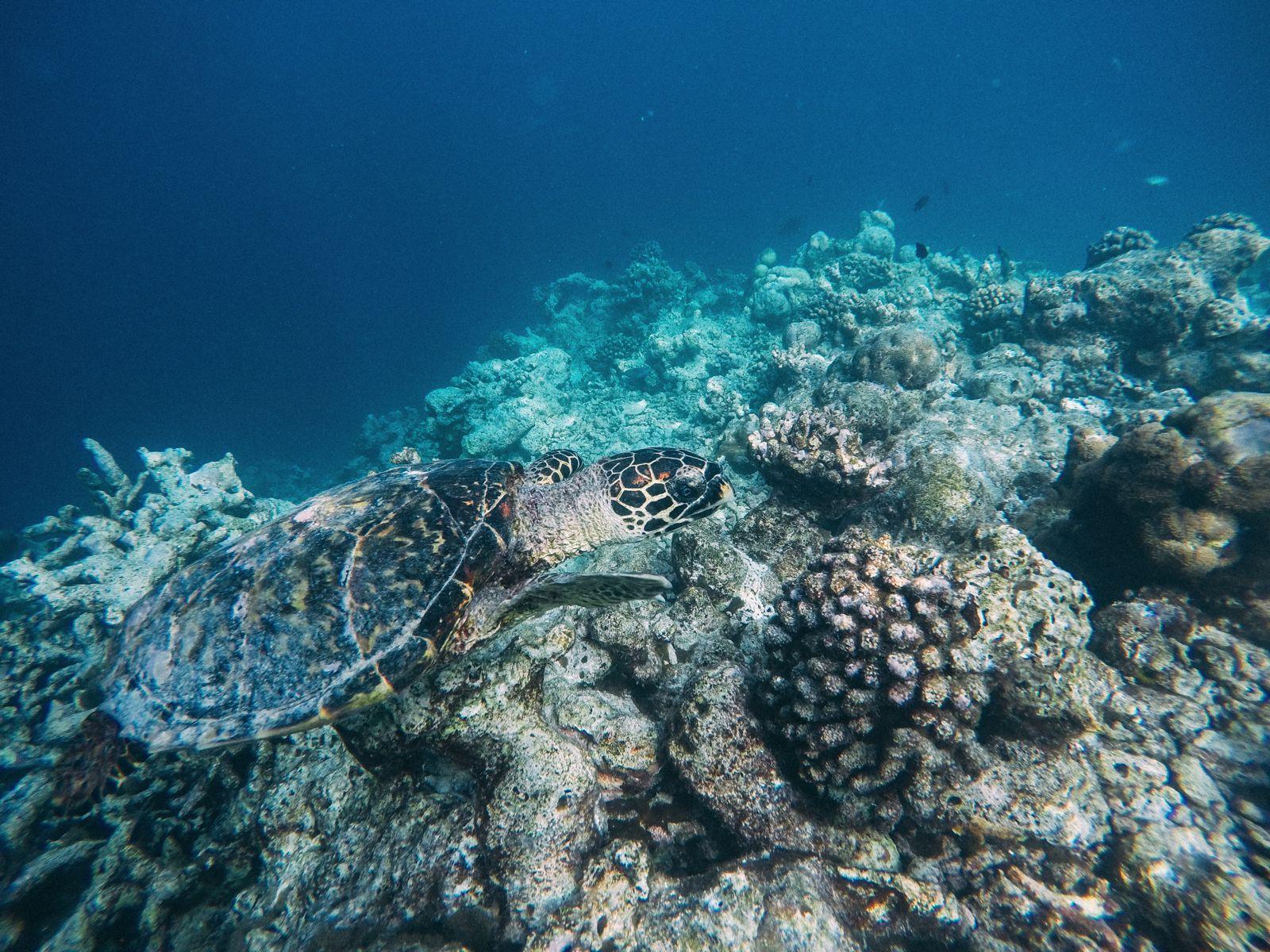 Swimming With Wild Turtles And Those Amazing Island Colours... At Kandolhu Island, Maldives (26)