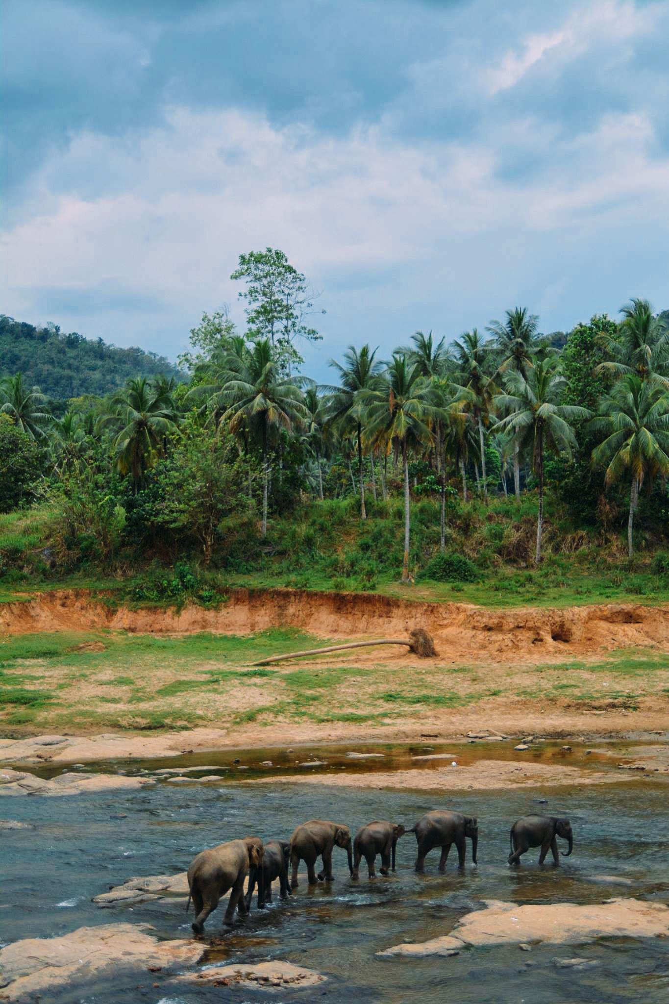 Here's Why You Should Never Visit Pinnawala Elephant Orphanage In Sri Lanka (1)