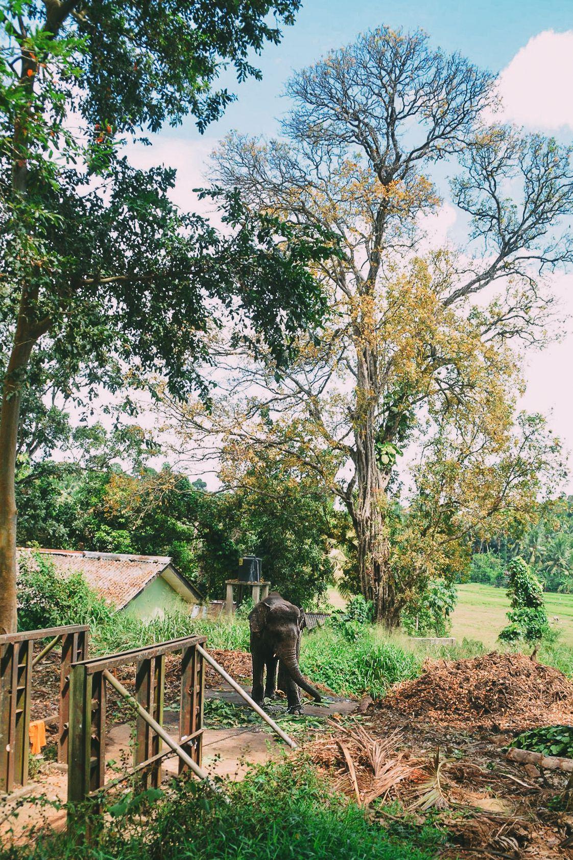 Here's Why You Should Never Visit Pinnawala Elephant Orphanage In Sri Lanka (7)