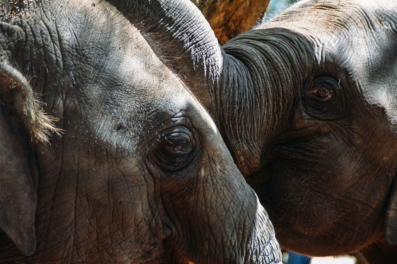 Here's Why You Should Never Visit Pinnawala Elephant Orphanage In Sri Lanka (12)