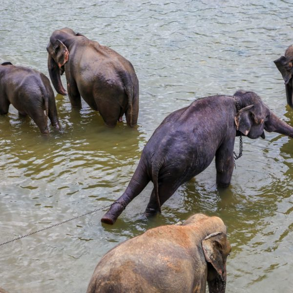Here's Why You Should Never Visit Pinnawala Elephant Orphanage In Sri Lanka 2017 (3)