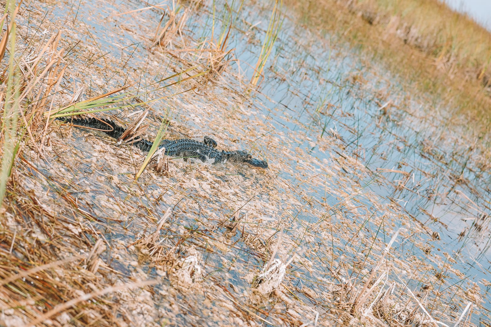 Searching For Wild Alligators in Florida (20)