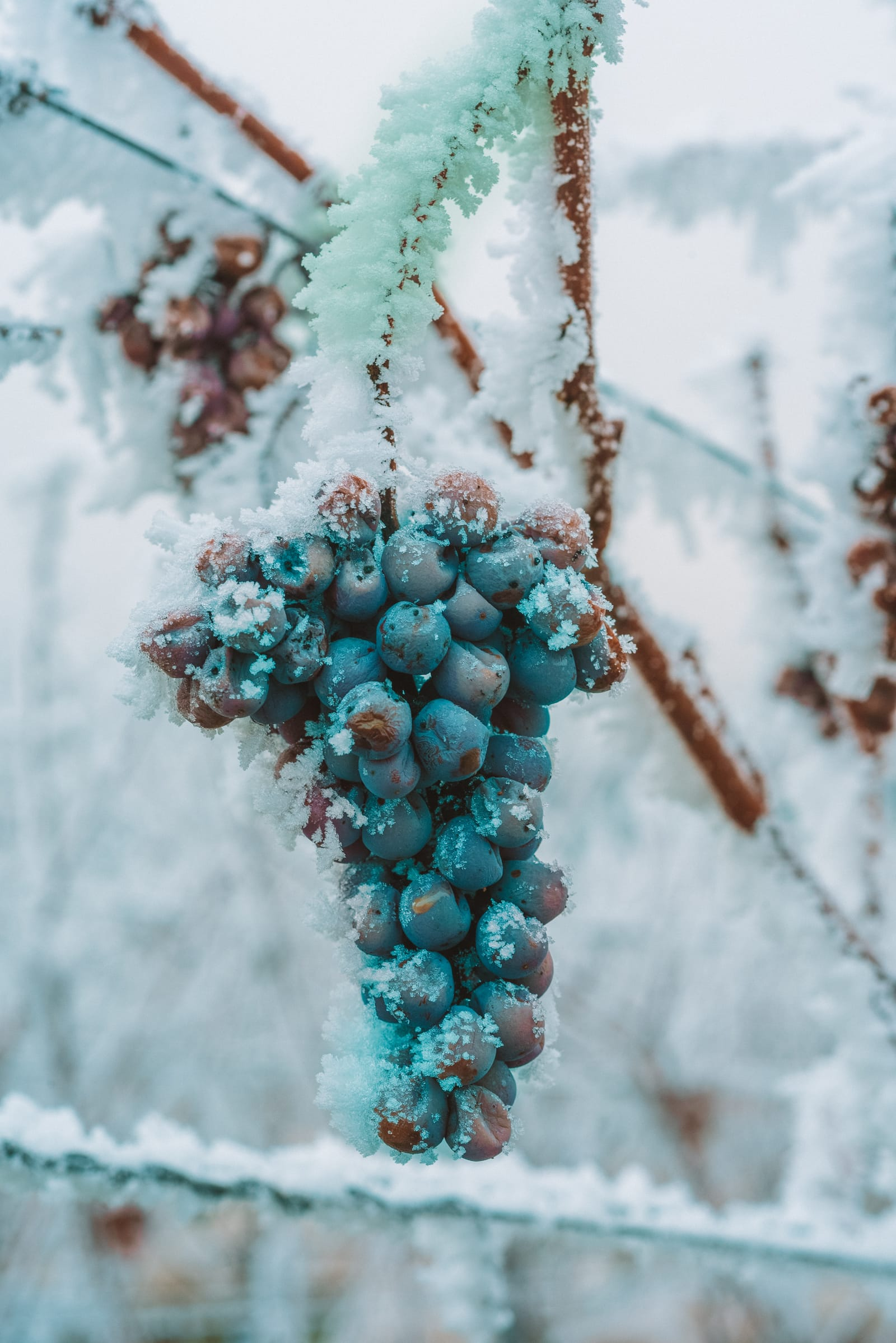 Vineyards To Visit For Ice Wine In Canada (1)