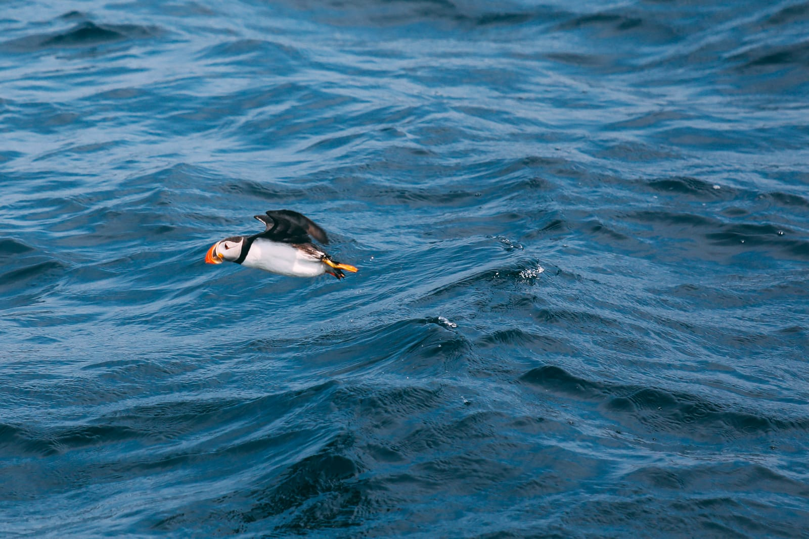 Searching For Puffins In Newfoundland, Canada (20)
