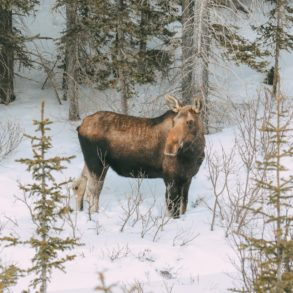 Finding Wild Moose And Skiing In Sunshine Village... In Banff, Canada (8)